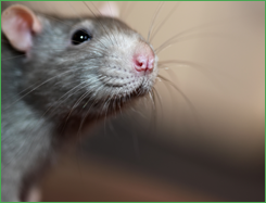 Domestic Rat